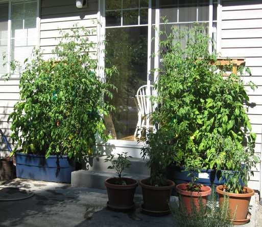 Several nine-foot-tall tomato plants on Rick's back patio prove the impossible can be done - growing tomatoes in the Pacific Northwest.